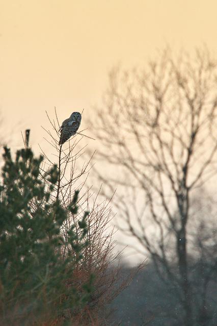 1d3_7247_owl