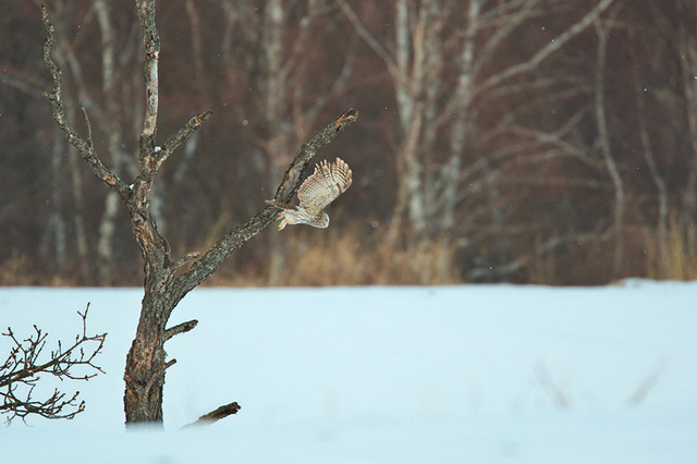 1d3_7218_owl